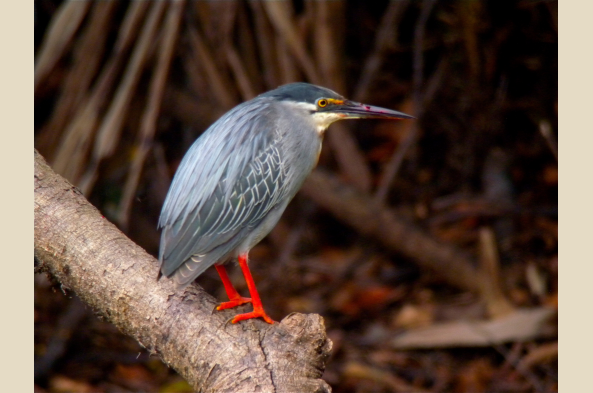 Glimpse striated herons, tiger herons, and dozens of other bird species on each river outing.