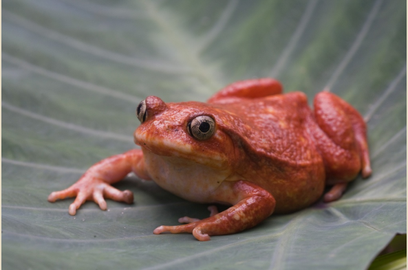 Tomato frog (photo by Joseph Tenne)