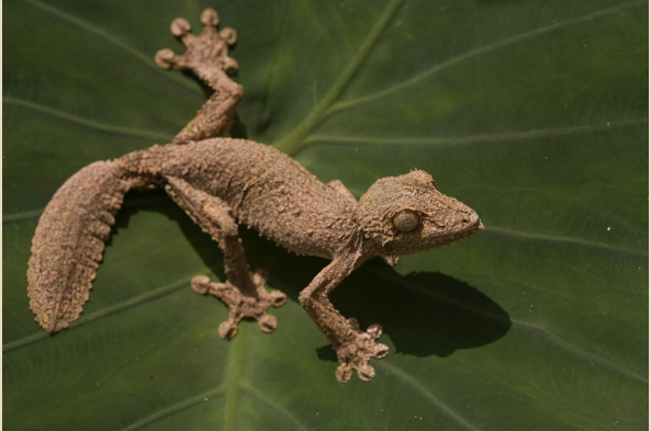 Uroplantus Ebenaui Gecko (photo by Joseph Tenne)