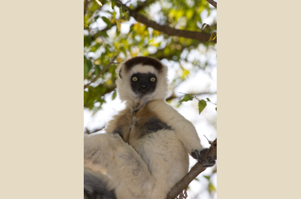 Verreaux's Sifaka Lemur (photo by Joseph Tenne)