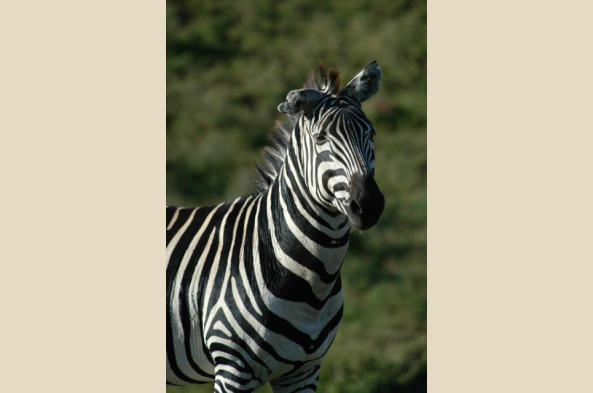 Zebra and other hoofed mammals are common in the park