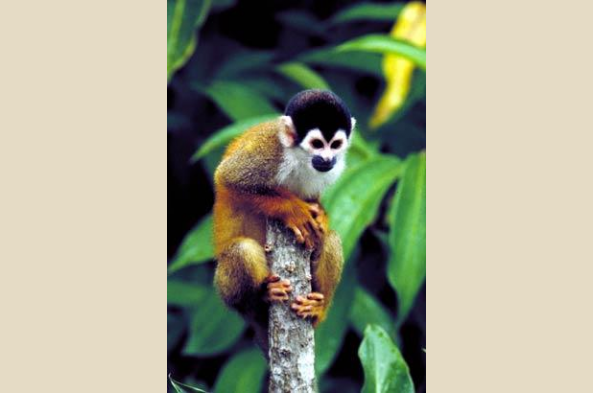 Squirrel monkeys are increasingly rare. Find them in abundance at Tiskita Jungle Lodge,