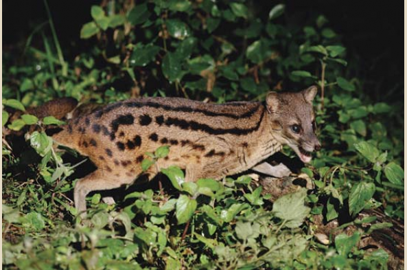 Striped civet