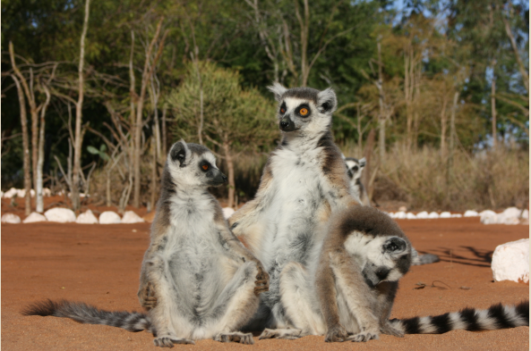 Ringtail lemurs.
