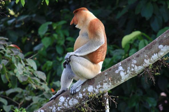 Spot Proboscis monkeys in the rainforest