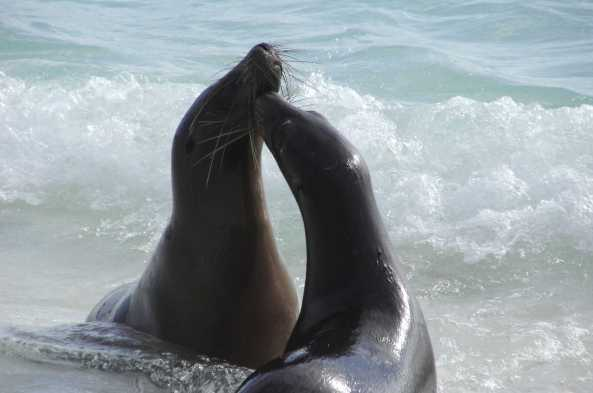 Get close-up views of Galapagos sea lions frolicking in the surf