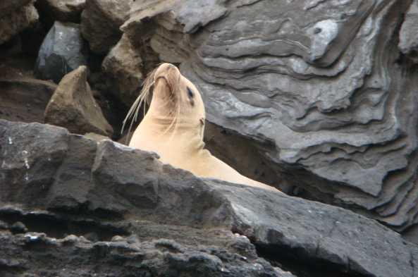 Spot sea lions on the rocks around Santa Cruz