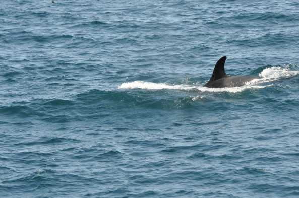 Whales (here, an orca) are often found around the western islands