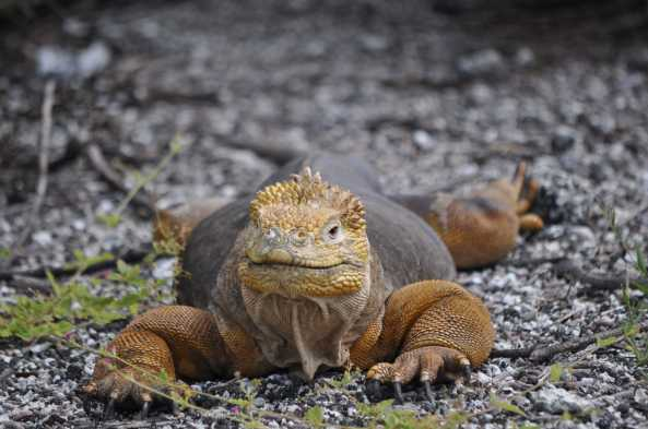 See land iguanas and their nesting sites