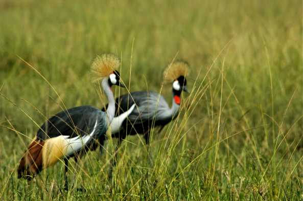 Gray-crowned Crane