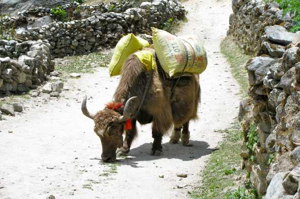 Livestock are often used in carrying necessities along the way.