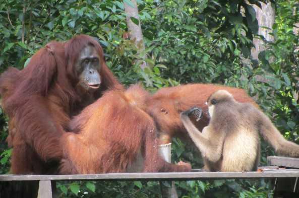 Orangutans at the feeding station