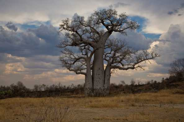 Majestic baobab tree (photo by Joseph Tenne)