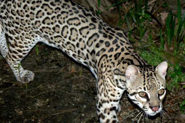The ocelot is hard to spot in the wild but thrilling to see at the Belize Zoo.