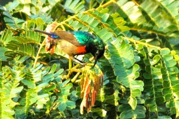 The bright colors of the Red-chested Sunbird are hard to miss