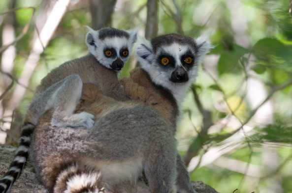 Ring-Tailed Lemur and Offspring (photo by Joseph Tenne)