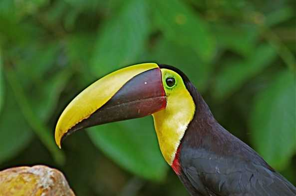 Be ready for the exotic and the beautiful chestnut-mandibled toucan