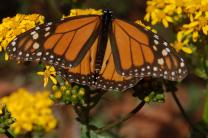 See the beautiful monarchs of Michoacan
