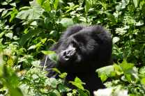 Walk among the gorillas