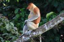 Spot Proboscis monkeys in the rainforest
