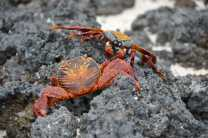 See abundant Sally lightfoot crabs