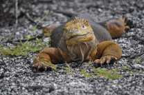 Dragon Hill is a popular nesting site for land iguanas