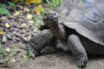 Look for Santa Cruz's wild tortoises