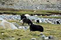 Look for yaks among the high rocks